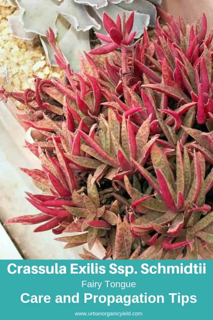 Fairy Tongue (Crassula Exilis Ssp. Schmidtii)