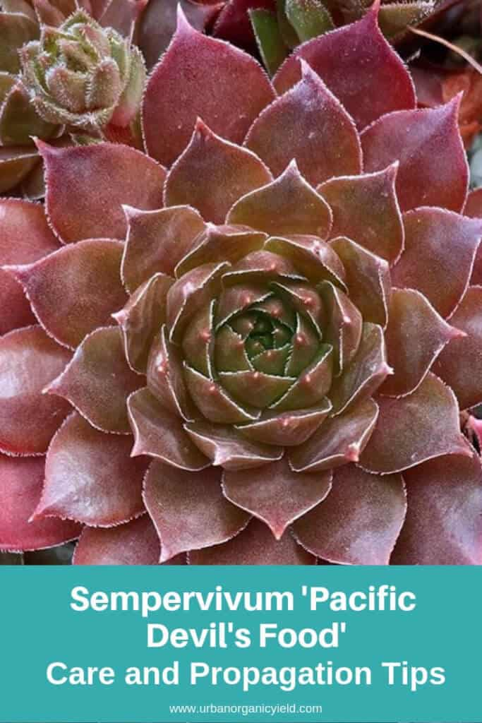 Sempervivum 'Pacific Devil's Food'
