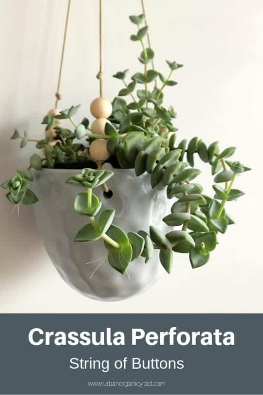 String of Buttons (Crassula Perforata)
