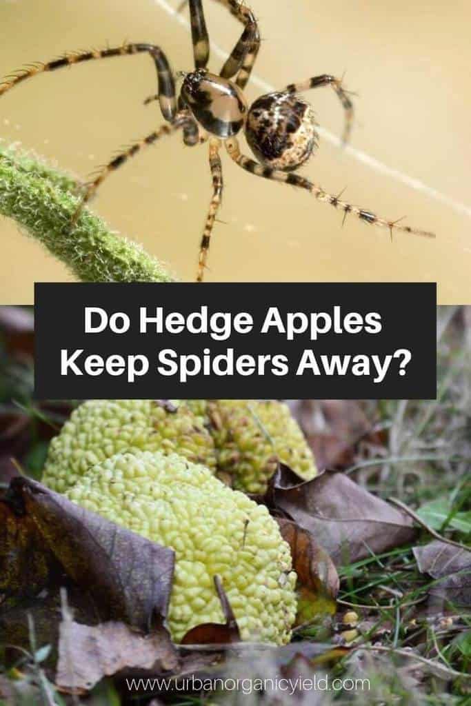 Get Your Doubts Cleared_ Using Hedge Apples For Spider Repellent_ Fact Or Myth)