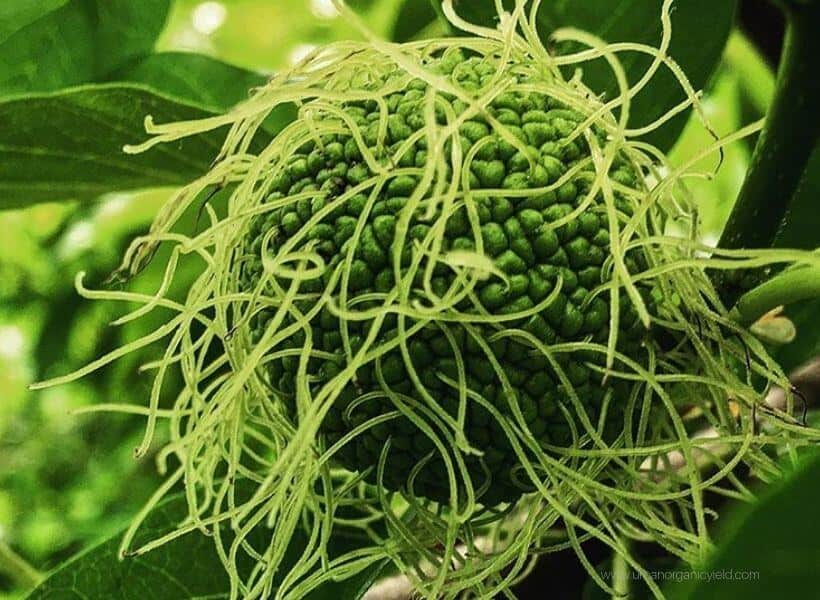 What are hedge apples