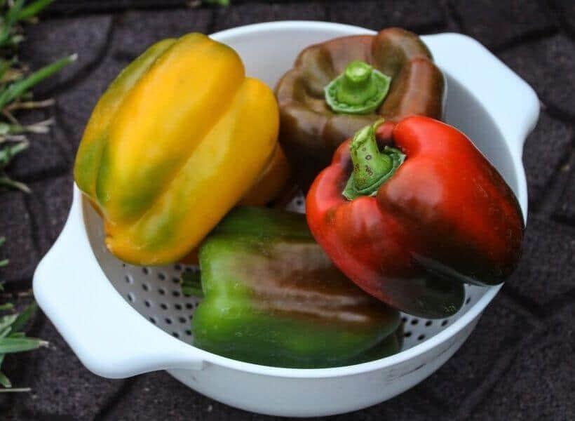 Harvesting bell Peppers