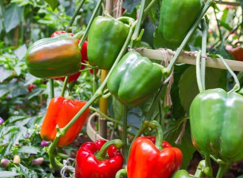 How Many Bell Peppers Does One Plant Produce