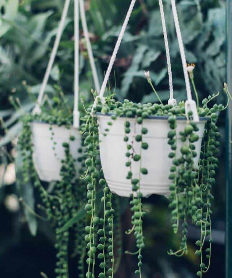 String of Pearls Succulents Senecio Rowleyanus