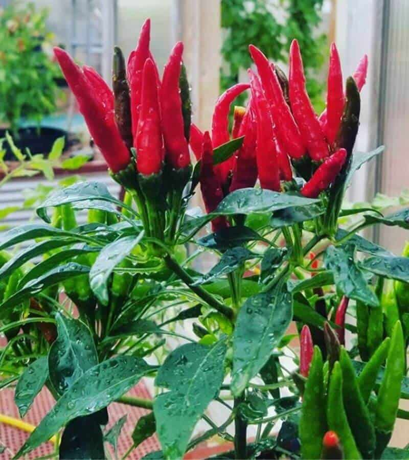 Thai Peppers