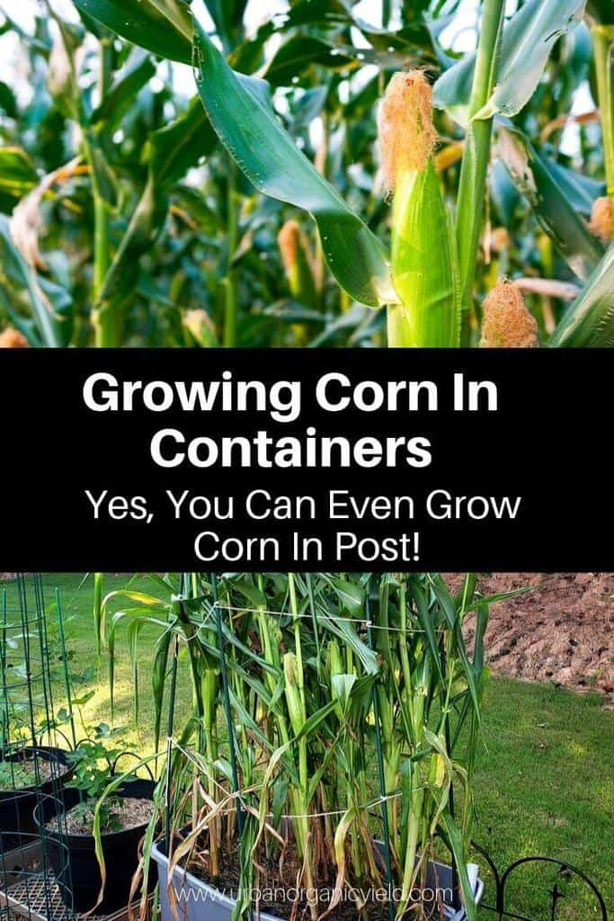 The Complete Guide to Growing Corn in Containers
