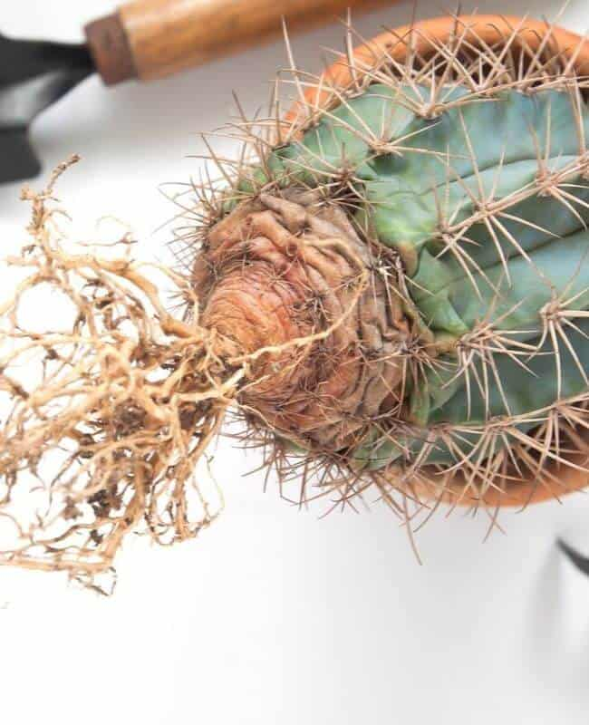 How To Save An Overwatered Cactus