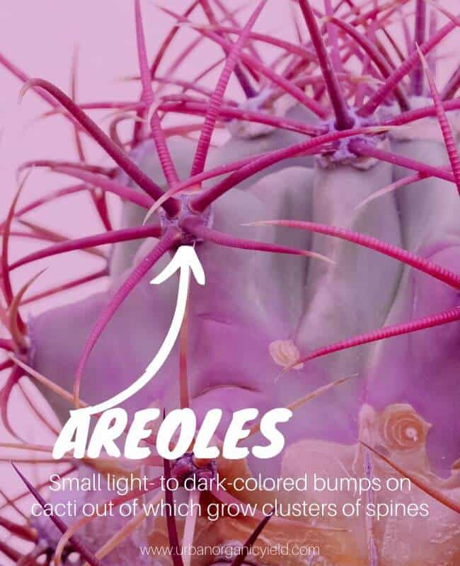Cacti Areoles