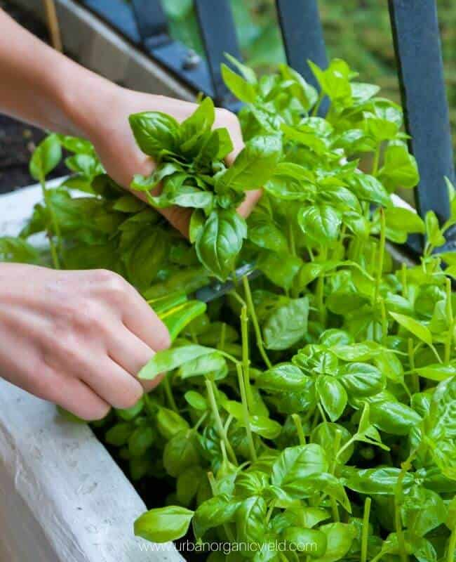 Is Basil A Perennial Or Annual Herb_