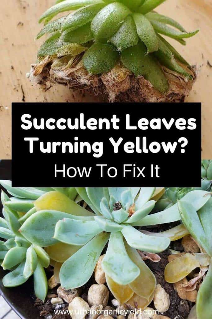 Why Are My Succulent Leaves Turning Yellow_